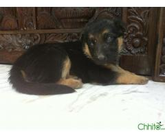 http://chhito.com/pets-pet-care/buy-sell-pets/35-days-old-female-german-shephard-puppy-for-sale_1422