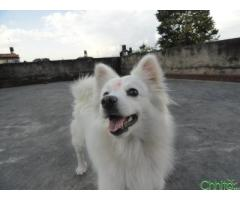 http://chhito.com/pets-pet-care/pets-for-breeding/my-dog-is-single-and-looking-for-a-male-japanese-spitz_1456