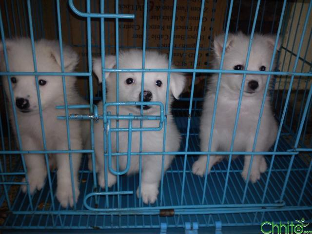 white spitz puppies