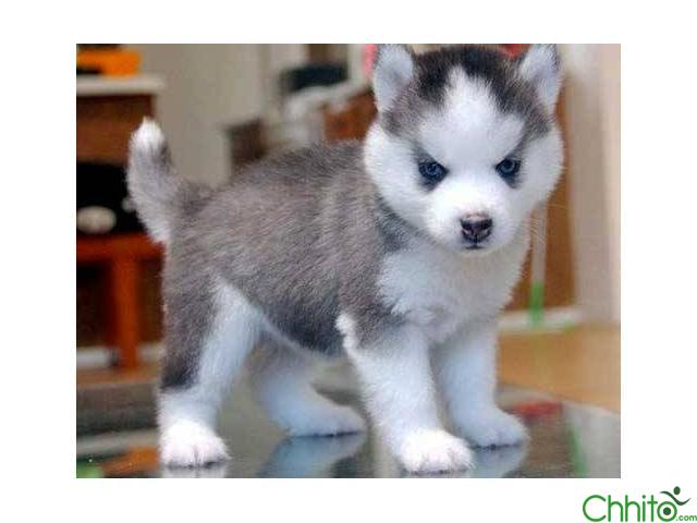 2 AKC REGISTERED blue eys siberian huskies puppies for sale 11 weeks old