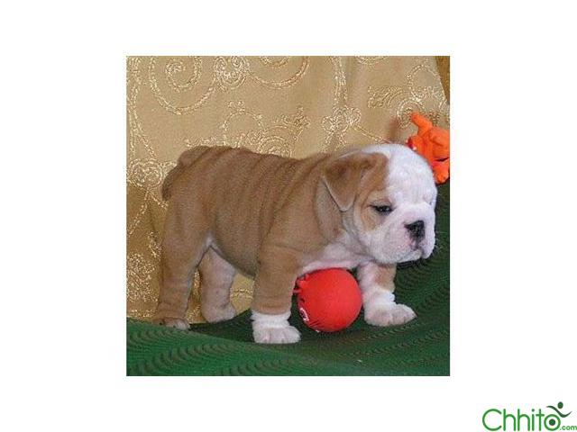 Adorable English bulldogs puppies