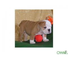 http://chhito.com/pets-pet-care/buy-sell-pets/adorable-english-bulldogs-puppies_2183