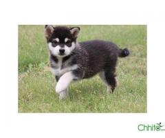 http://chhito.com/pets-pet-care/buy-sell-pets/alaskan-klee-kai-puppies_2185