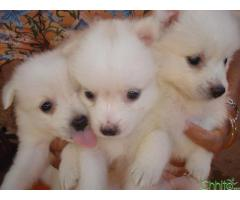 http://chhito.com/pets-pet-care/buy-sell-pets/japanese-spitz-puppies_2200