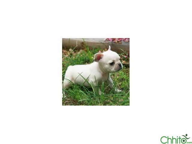 Poetic French Bulldog's Brandie fawn female puppy for sale