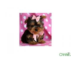 Potty Trained Male and Female Yorkie Puppies