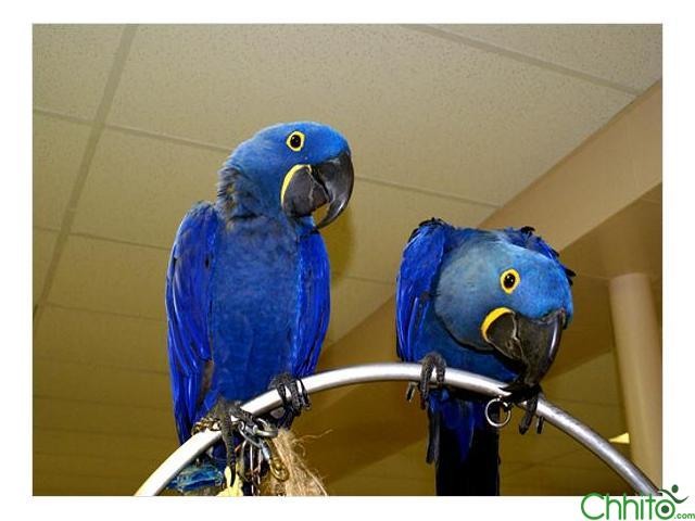 hyacinth macaw parrots for sale   Bharatpur - Chhito